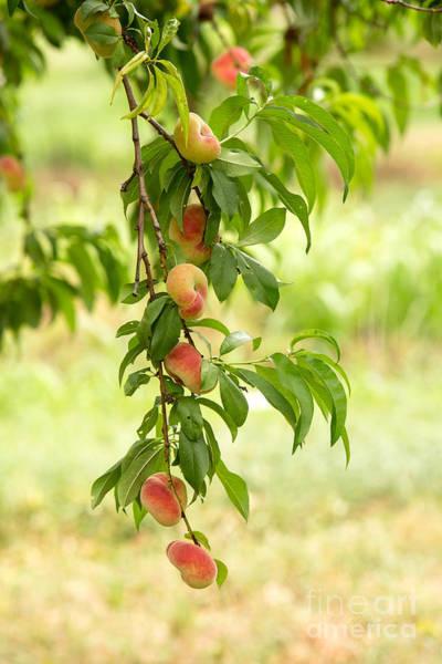 Peaches Photograph - Donut Peaches by Iris Richardson