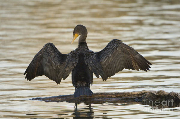 Phalacrocorax Auritus Wall Art - Photograph - Double-crested Cormorant by John Shaw