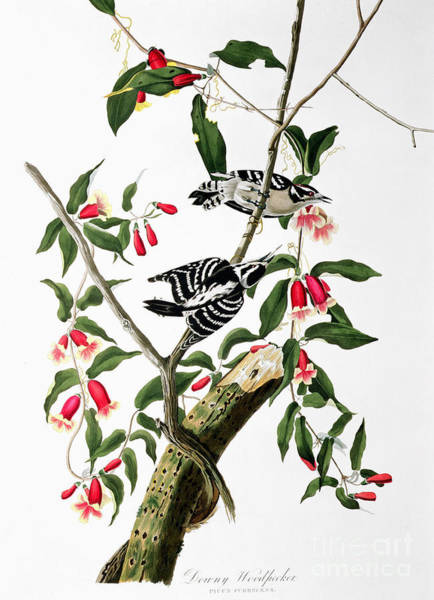 Drawing - Downy Woodpecker by Celestial Images