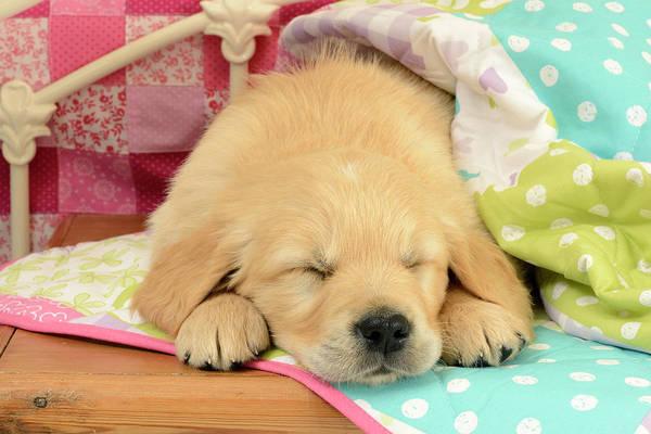 Wall Art - Painting - Dp1153 Puppy Patchwork Blanket Sleeping by MGL Meiklejohn Graphics Licensing
