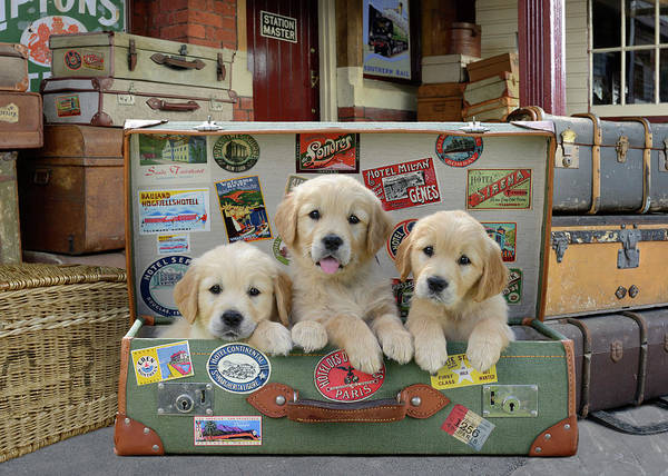 Wall Art - Painting - Puppy Suitcase by MGL Meiklejohn Graphics Licensing
