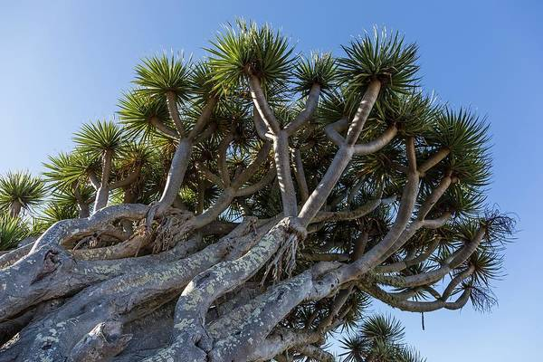 Canary Islands Photograph - Dragon Tree by Alfred Pasieka