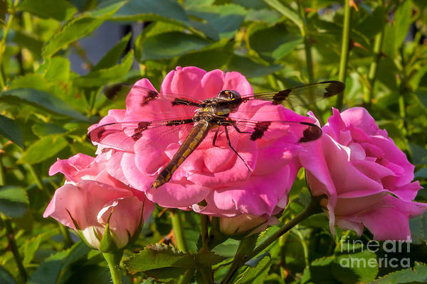 Photograph - Dragonfly by Susan Cole Kelly