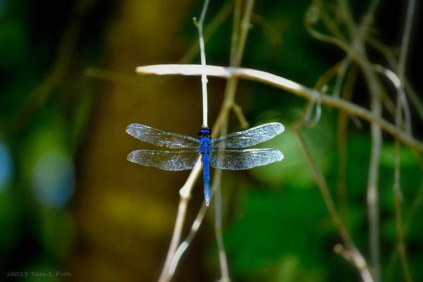 Conyers Photograph - Dragonfly by Tara Potts