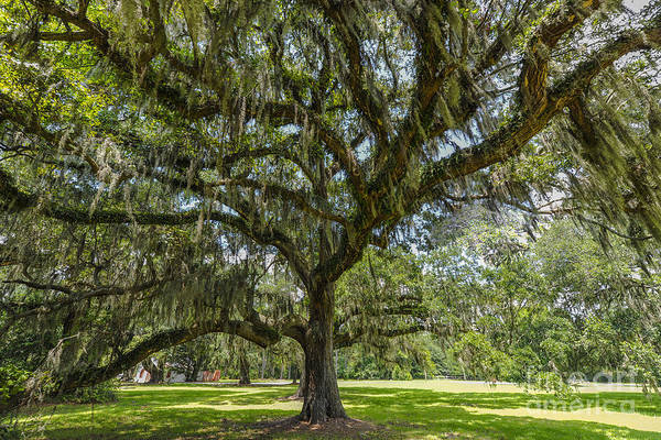 Photograph - Dripping With Spanish Moss by Dale Powell