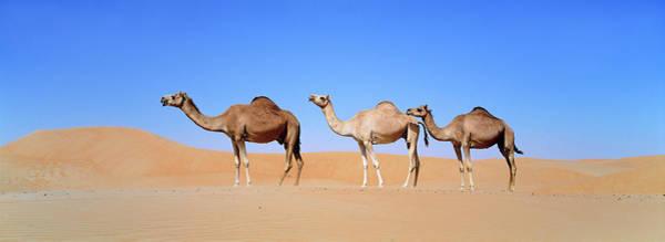 Ugly Photograph - Dromedary Camel (camelus Dromedarius by Martin Zwick