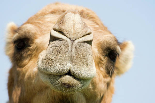 Dromedary Wall Art - Photograph - Dromedary Camel by Power And Syred