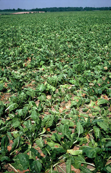 Beet Wall Art - Photograph - Drought Stricken Sugar Beet by Dr Jeremy Burgess/science Photo Library