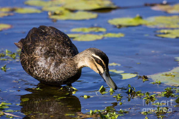 Anas Platyrhynchos Photograph - Duck Hunt by Jorgo Photography - Wall Art Gallery