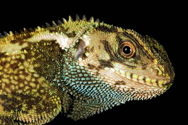 Wall Art - Photograph - Duellman's Dwarf Iguana by Dr Morley Read/science Photo Library