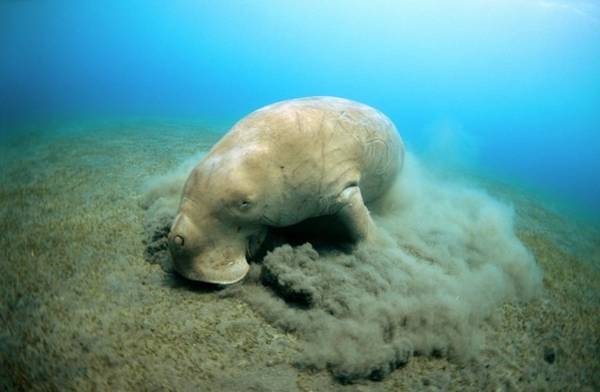 Wall Art - Photograph - Dugong Feeding by Louise Murray/science Photo Library