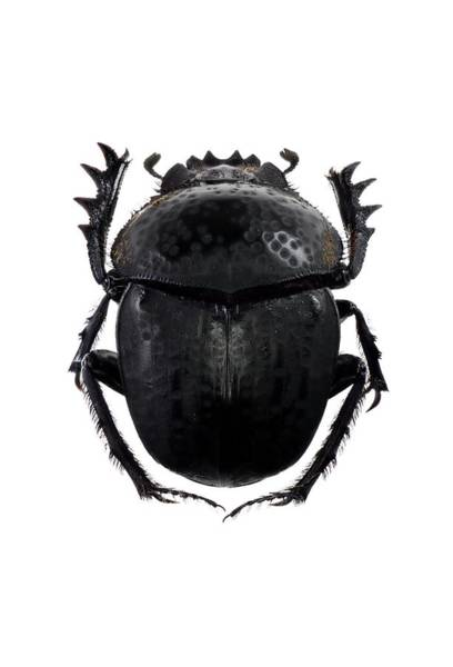 Arthropoda Wall Art - Photograph - Dung Beetle by F. Martinez Clavel
