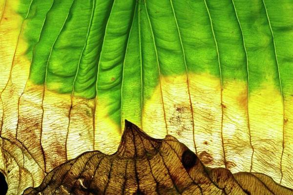 Leaf Venation Wall Art - Photograph - Dying Hosta (hosta Sp.) Leaf by Michael Clutson/science Photo Library