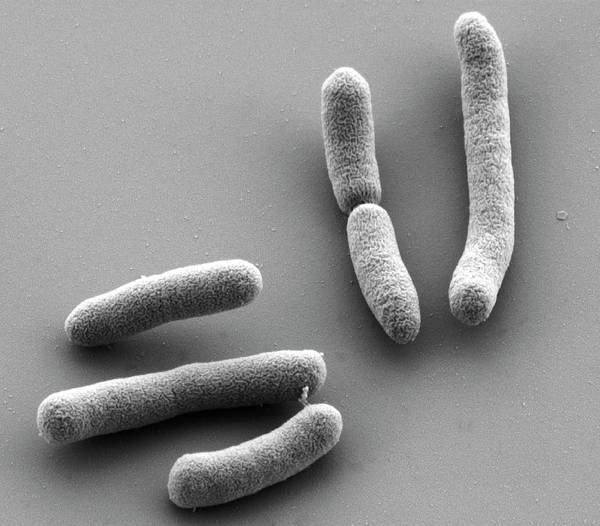 Bacilli Wall Art - Photograph - E. Coli Bacteria by Thomas Deerinck, Ncmir