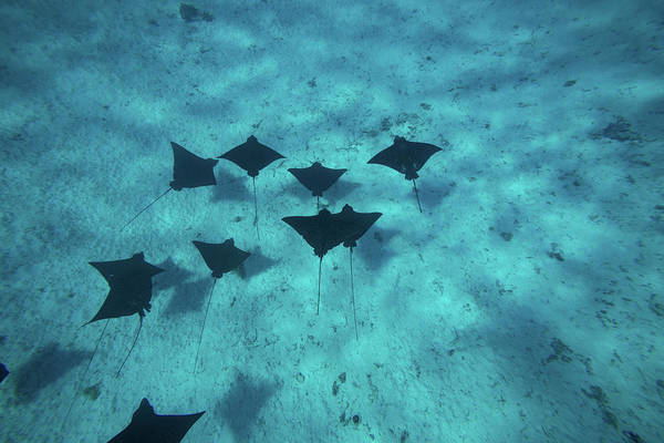 Eagle Ray Photograph - Eagle Rays Swimming In The Pacific by Panoramic Images