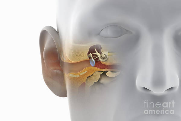 Photograph - Ear Anatomy by Science Picture Co