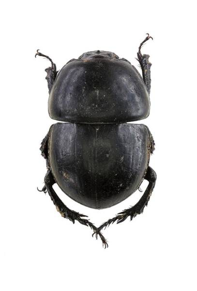 Arthropods Wall Art - Photograph - Earth-boring Dung Beetle by F. Martinez Clavel