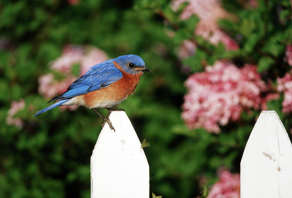 Avian Wall Art - Photograph - Eastern Bluebird (sialia Sialis by Richard and Susan Day