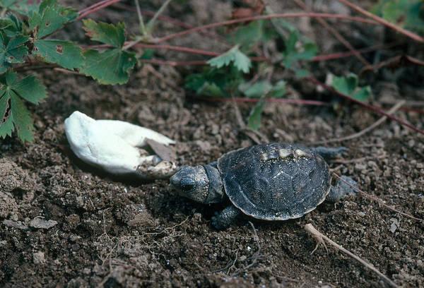 Box Turtle Photograph - Eastern Box Turtle Hatchling by Paul J. Fusco