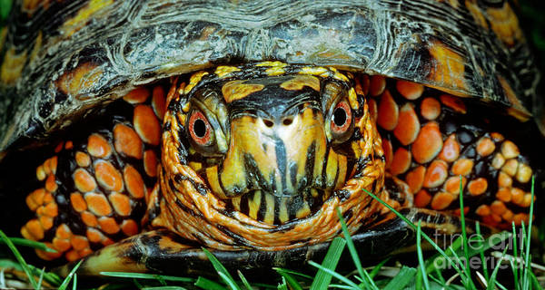 Box Turtle Photograph - Eastern Box Turtle by Millard H. Sharp