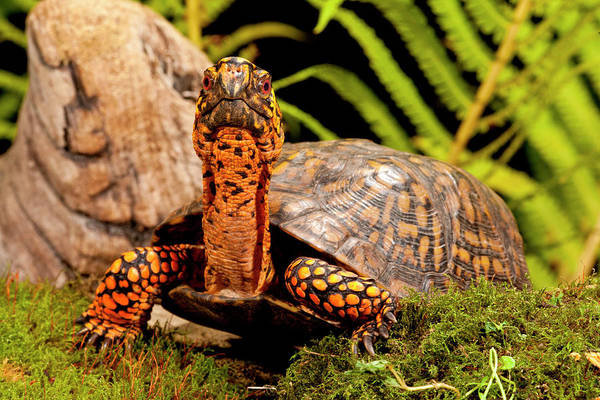 Turtle Photograph - Eastern Box Turtle, Terrapene Carolina by David Northcott