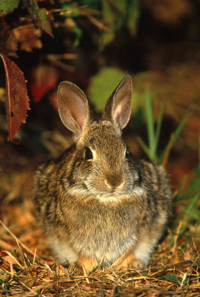 Sylvilagus Floridanus Photograph - Eastern Cottontail Rabbit by Paul J. Fusco