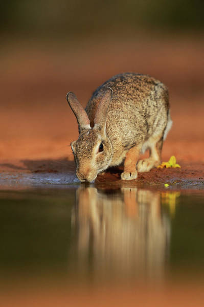 Cottontail Photograph - Eastern Cottontail (sylvilagus by Rolf Nussbaumer