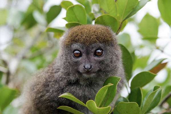 Lemur Wall Art - Photograph - Eastern Grey Bamboo Lemur by Dr P. Marazzi