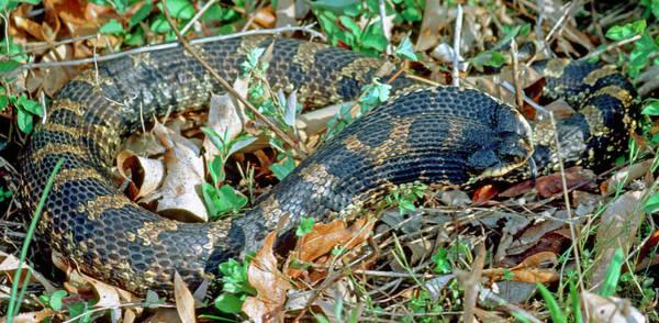 Eastern Hognose Snake Photograph - Eastern Hognose Snake by Millard H. Sharp