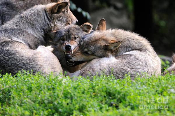 Reiner Photograph - Eastern Timber Wolves by Reiner Bernhardt