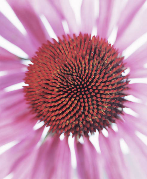 Carpel Photograph - Echinacea Flower by Sheila Terry/science Photo Library