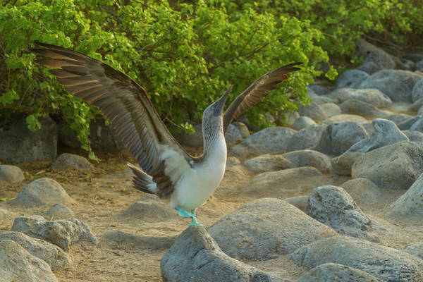 Blue Footed Booby Wall Art - Photograph - Ecuador, Galapagos National Park, San by Jaynes Gallery