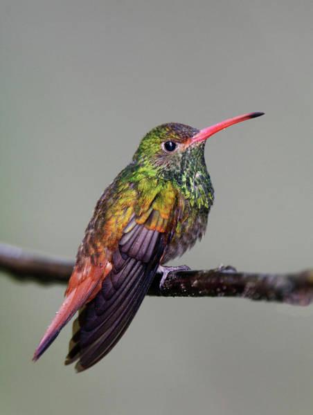 Rufous Photograph - Ecuador, Tandayapa Bird Lodge by Jaynes Gallery