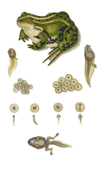 Photograph - Edible Frog Development by Biodiversity Heritage Library