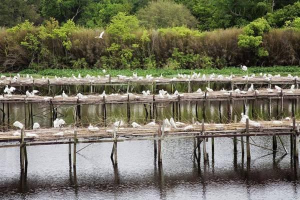Snowy Egret Photograph - Egrets Nesting by Jim West