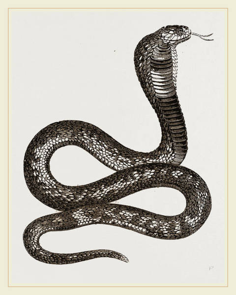 Cobra Drawing - Egyptian Cobra by Litz Collection