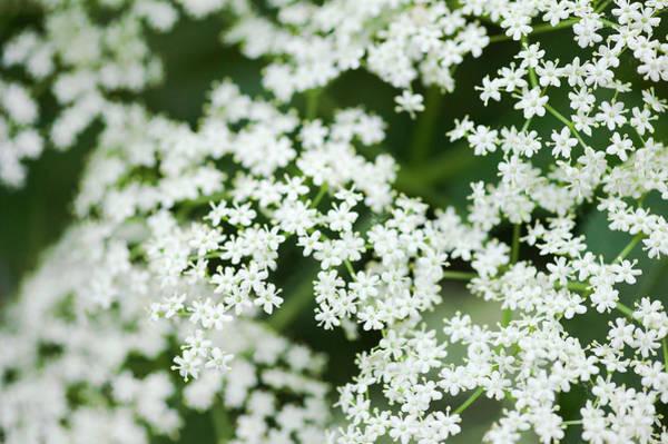 Elder Photograph - Elder Flowers (sambucus Sp.) by Gustoimages/science Photo Library