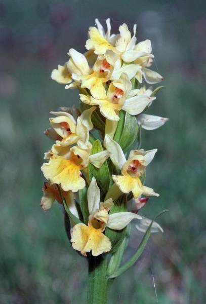 Orchis Photograph - Elder Orchid (orchis Sambucina) by Bruno Petriglia/science Photo Library