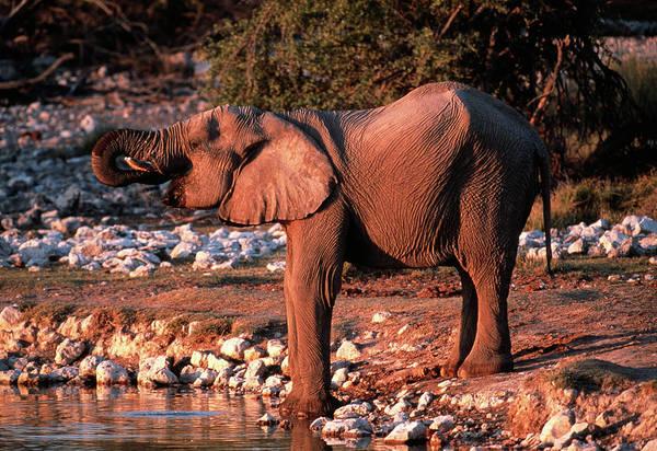 Africana Photograph - Elephant Drinking by Tony Camacho/science Photo Library