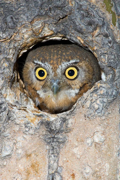 Wall Art - Photograph - Elf Owl Nesting In Tree Cavity by Craig K. Lorenz