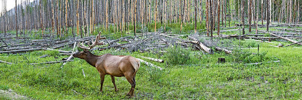 Wall Art - Photograph - Elk Cervus Canadensis In A Forest by Animal Images