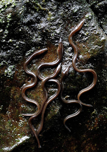 Eels Photograph - Elvers Climbing A Wall by Sinclair Stammers/science Photo Library