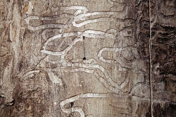 Introduced Species Photograph - Emerald Ash Borer Tracks On Dead Tree by Jim West