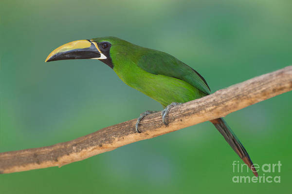 Ramphastidae Photograph - Emerald Toucanet by Anthony Mercieca