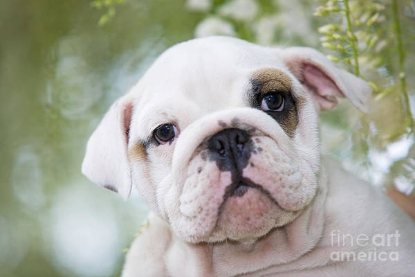 Photograph - English Bulldog Puppy by Jean-Michel Labat