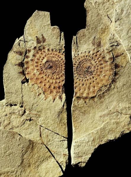 Equisetum Horsetail Fossil Art Print