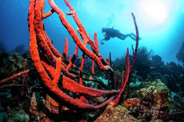 Sponge Photograph - Erect Rope Sponge by Georgette Douwma/science Photo Library