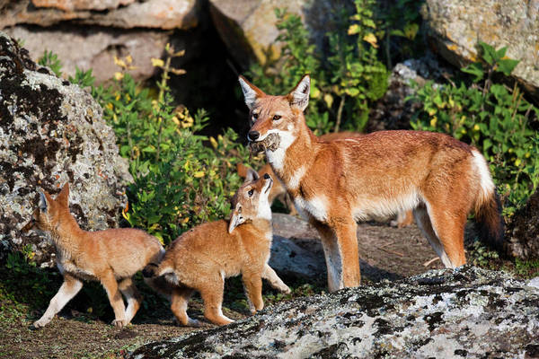 Red Wolf Photograph - Ethiopian Wolf (canis Simensis by Martin Zwick