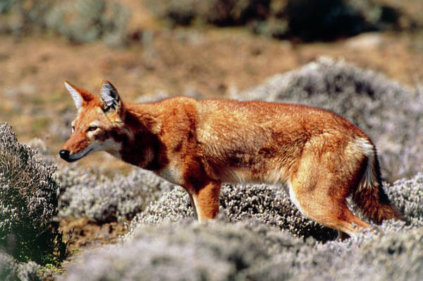 Wall Art - Photograph - Ethiopian Wolf by Tony Camacho/science Photo Library