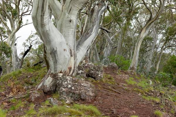 Eucalyptus Photograph - Eucalyptus Pauciflora On Mt Timbertop by Dr Jeremy Burgess